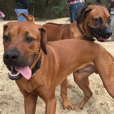 Jengo & Bako (broer) ❤️ 7 maanden  Rhodesian Ridgebacks