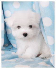 Maltese puppy - ridiculously cute