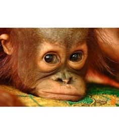 No photo description available. Scary Animals, Cute Baby Animals, Animals And Pets, Funny Animals, Beautiful Creatures, Animals Beautiful, Orangutan Monkey, Los Primates, Types Of Monkeys