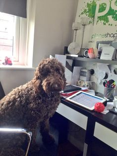 New starter in the office today - having some #twitter training #labradoodle #fridayfun pic.twitter.com/iHglrkQqlx