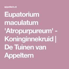 Eupatorium maculatum 'Atropurpureum' - Koninginnekruid   De Tuinen van Appeltern
