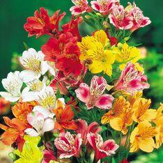 Peruvian Lily - Peruvian Lily Mix (Alstroemeria) FLOWER SEEDS-Perennial Peruvian…