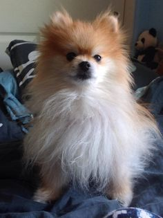 This is Leo, a Pomeranian. He loves floor crumbs, steals socks, and spends a good ten minutes every day kicking up blankets to make the perfect bed before lying down. ~ @grump-the-deer