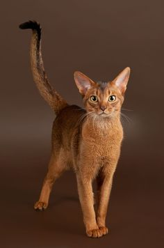 The Abyssinian is one of the most popular (and smartest) cat breeds in the U.S. and is considered to be the Border Collie of the cat world. #CatBreeds