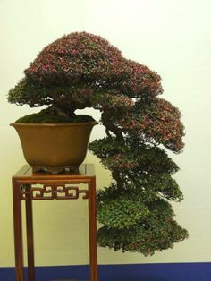 Aido Bonsai Gallery                                                                                                                                                     Mais