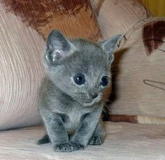 Russian blue kittens - 17 Pictures (8)