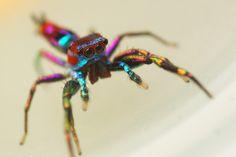 Chrysilla Lauta est une espèce d'araignée multicolore vivant au sein de forêts tropicales - LaCuriosphere.com