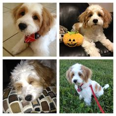 Many faces of Himes the Cavachon