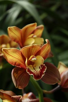 Beloved cymbidium orchids