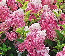 Strawberry Vanilla Hydrangea: 6-7', 4-5' wide, tolerant, under picture windows