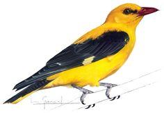 Bird, Animals, Illustrations, Drawings, Painting Art, Animales, Animaux, Birds, Animal
