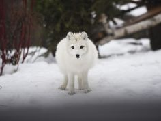 An arctic fox stares at a group of people during Green