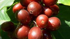 KAFFEEKIRSCHEN | Bildquelle: wdr - In mehr als 50 Ländern bauen Landwirte Kaffeepflanzen an, vor allem der Arten Arabica (siehe Bild) und Robusta. Arabica gilt als der hochwertigere Kaffee. Robusta hingegen ist weniger empfindlich im Anbau und hat doppelt so viel Koffein. In jeder Kaffeekirsche stecken zwei Bohnen, die Samen der Kaffeepflanze. Etwa ein Drittel des Kaffees stammt aus Brasilien. Damit ist das Land der größte Kaffee-Exporteur der Welt.