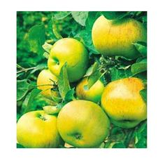 Le Bramley Seedling Parkers Whole Fruit Plants Garden Trees