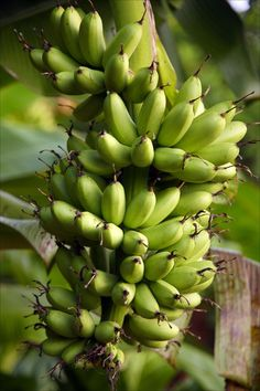 Banana plant. Campaigns will be visiting Belize during Spring Break 2014.