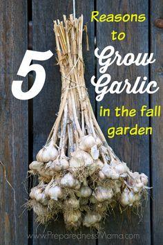5 Reasons to grow garlic in your fall garden | PreparednessMama