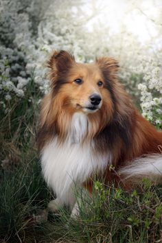 The Shetland Sheepdog originated in the and its ancestors were from Scotland, which worked as herding dogs. These early dogs were fairly Pet Dogs, Dog Cat, Sheep Dog Puppy, Scottie Dog, Shetland Sheepdog Puppies, Icelandic Sheepdog, Dog Body Language, Dog Minding, Dog Mixes