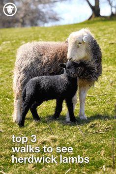 Herdwick lambing season is in FULL FLOW. Here's our top 3 favourite walks to see adorable Herdwick lambs. Farm Animals, Animals And Pets, Cute Animals, Villages In Uk, Baa Baa Black Sheep, Broody, Like A Lion, Cumbria, Lake District