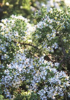 A great water-wise perennial is the Snow Flurry aster (Aster ericoides 'Snow Flurry'), a carpeting ground cover that helps prevent weeds.