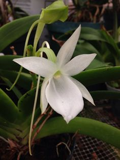 Angraecum leonis CH-16656 | Flickr - © Orchids by Hausermann
