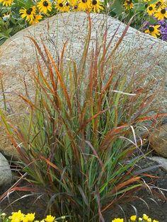 Panicum Cheyenne Sky -- Bluestone Perennials perhaps in front yard to shield electric box?