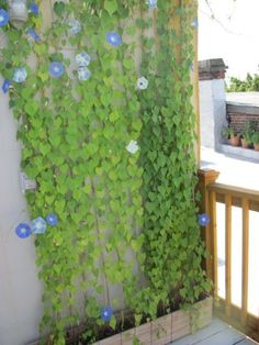 Good Morning_glories_roof_garden_vines. Flowering Vines To Cover Ugly Walls