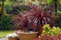 Monrovia in Pot Cordyline Festival Grass at Lowe's. Bright burgundy-red foliage creates a dramatic and eye-catching grass-like effect with long arching leaves. Tiny white blooms appear on dark red stems in Tiny White Flowers, Beautiful Flowers, Summer Garden, Winter Garden, Summer Sun, Easy Garden, Container Plants, Container Gardening, Fine Gardening