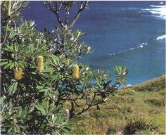 The coastal banksia (Banksia integrifolia) is at home on exposed headlands  and behind sand db2364403b5d