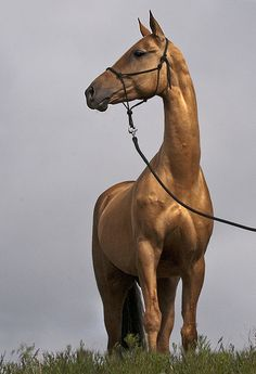 the golden horse ~~ Akhal-Teke mare Most Beautiful Horses, All The Pretty Horses, Horse Photos, Horse Pictures, Zebras, Beautiful Creatures, Animals Beautiful, Akhal Teke Horses, Golden Horse