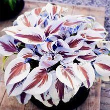 Rare Hosta Garden Perennial Plantain Lily Shade Plant (200 Pcs) – Self Sufficient Soul
