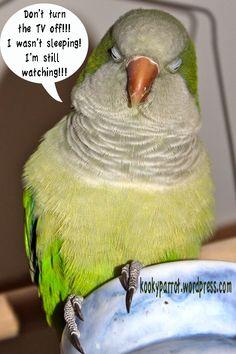 Quaker Parrot funnies Bird Mom, Crazy Bird, Bird Lady, Parrot Toys, Cute Birds, Funny Animals, Pets, High Maintenance, Feathers