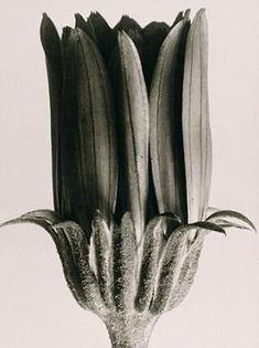 Botanical still life by Karl Blossfeldt Photography Karl Blossfeldt, Still Life Photography, Fine Art Photography, Nature Photography, Botanical Art, Botanical Illustration, Fotografia Macro, Seed Pods, Patterns In Nature