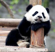 Image result for Baby pandas