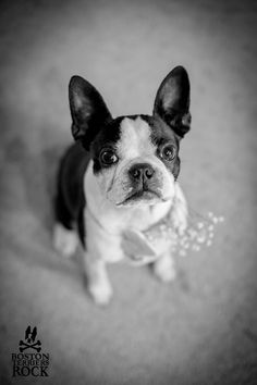 Stelly our Boston Terrier on our wedding day wearing a handmade rustic style collar | View post here: http://bostonterriersrock.com/a-sneak-peek-of-our-wedding