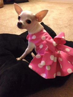 Small female chihuahua wearing a cute polka dot dress Girl Dog Clothes, Cute Dog Clothes, Small Dog Clothes, Chihuahua Clothes, Cute Chihuahua, Costume Chien, Pet Dogs, Pets, Dog Clothes Patterns