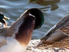 Jemina Staalon Veden vuosi 2: Sorsia ja vieläkin Staalo kävelee vetten päällä Animals, Animales, Animaux, Animal, Animais