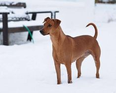 Red German Pinscher Dog Standing On Snow Picture