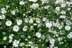 The Dirty Gardener Gypsophila Elegans Baby's Breath Flowers Planting Bulbs, Planting Flowers, Flower Gardening, Garden Seeds, Garden Plants, Gypsophila Elegans, White Flowers, Beautiful Flowers, Cut Flowers