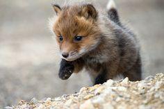 Un pequeño zorro. Por Ivan Kislov