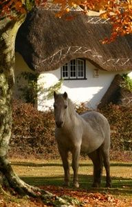 FARMHOUSE – ANIMALS – a wild new forest pony, in hampshire, england.