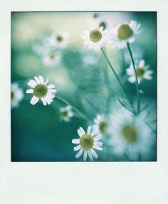 daisy///one of my favorites//polaroid