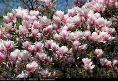Magnolia x soulangiana. Loistomagnolia