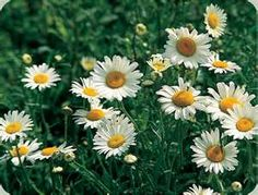 Shasta Daisies: How to plant, grow, and care for daisy flowers from The Old Farmer's Almanac. Pretty Flowers, Wild Flowers, Daisy Flowers, Summer Flowers, Cut Flowers, My Flower, Flower Power, Birth Flower, Sunken Fire Pits
