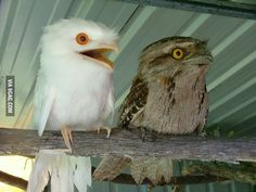 Apparently, the weirdness of the albino Potoo is too much for his normally pigmented brother.