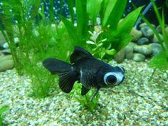 panda moor goldfish   My new Panda Moor! - Practical Fishkeeping Forum
