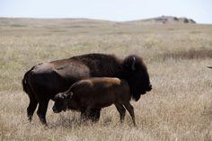 Buffalo on the Pine Ridge Reservation, South Dakota