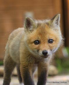 """500px / Photo """"Red Fox Kit"""" by Matthew Sullivan"""