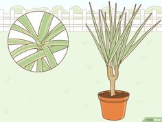 How to Care for a Madagascar Dragon Tree. The Madagascar dragon tree, or Dracaena marginata, is a reliable and low-maintenance indoor plant. If you live in a warm area with extremely mild winters, you can also keep this colorful tree. Madagascar Dragon Tree, Low Maintenance Indoor Plants, Colorful Trees, Potting Soil, Plant Care, 5 Ways, House Plants, Helpful Hints, Succulents