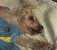 2/28/17 **PARALYZED - NEEDS NEW HOPE PLACEMENT BY 6PM 02/28/17** SUPER URGENT Brooklyn Center SNOWFLAKE – A1104850  **PARALYZED – NEEDS NEW HOPE PLACEMENT BY 6PM 02/28/17**  SPAYED FEMALE, WHITE, MALTESE / POODLE MIN, 10 yrs STRAY – STRAY WAIT, NO HOLD Reason STRAY Intake condition GERIATRIC Intake Date 02/27/2017, From NY 11212, DueOut Date