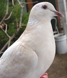 I always wanted a white dove but never had the heart to cage it